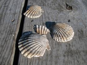 Scallop shells - Photo via Flickr Creative Commons