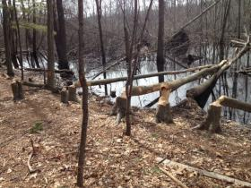 Beaver damage at Diamond Hill Park