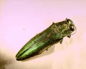 The emerald ash borer is an iridescent green and smaller than a penny.