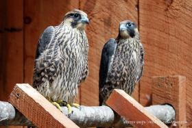 The two juvenile peregrine falcons, returning home to Pawtucket Saturday.
