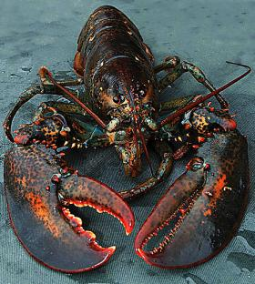 Lobsters throughout New England have been affected by a disease which eats at their shells for decades, though biologists say it's getting worse.
