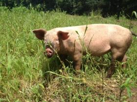 This pig at Pat's Pastured is part of Rhode Island's growing farm to table economy.
