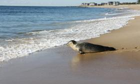 Hubble, a male harbor seal, starts his big adventure at Blue Shutters Beach after spending the summer recovering at the Mystic Aquarium.