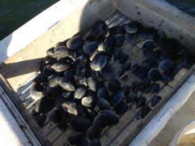 A sorted haul of quahogs.