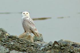 Snowy Owl sightings have increased throughout Rhode Island