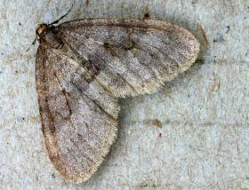 The invasive winter moth.