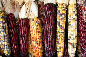 Most of the corn and soybeans grown in the United States come from genetically engineered seeds.