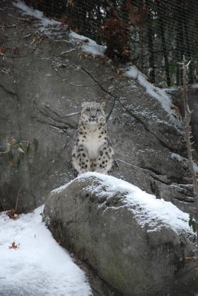 Sabu the snow leopard poses for a picture at Roger Williams Park Zoo.