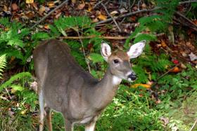 Virginia white-tailed deer.