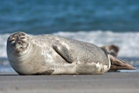 A common harbor seal.