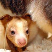 Holly, a baby Matschie Tree Kangaroo peaks her head out of her mother's pouch.