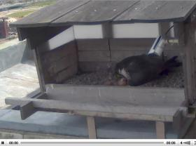The pink blob directly below this Peregrine falcon is a newly hatched chick with the eggshell close by.