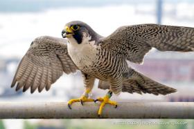 The new female peregrine falcon that has taken over the nesting box this year is also banded.