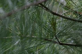 White Pine tree branches, which are partly responsible for the especially harsh allergy season.