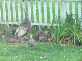 A hen turkey with her brood.