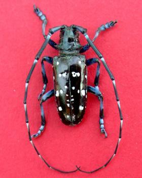 A male asian longhorned beetle.