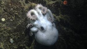 This female octopus spent 4 1/2 years brooding her eggs on a ledge near the bottom of Monterey Canyon, about 4,600 feet below the ocean surface.