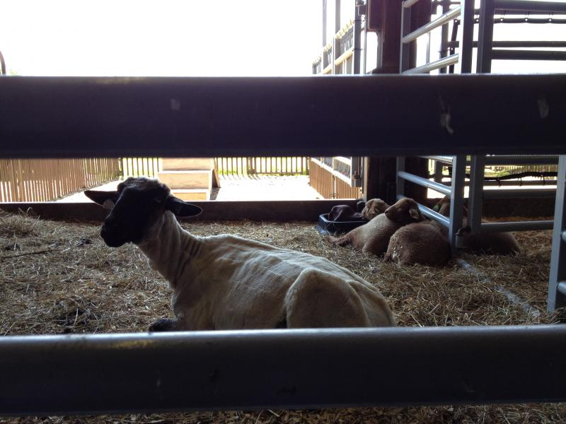 This surrogate mother cares for her lambs as though they were her own.