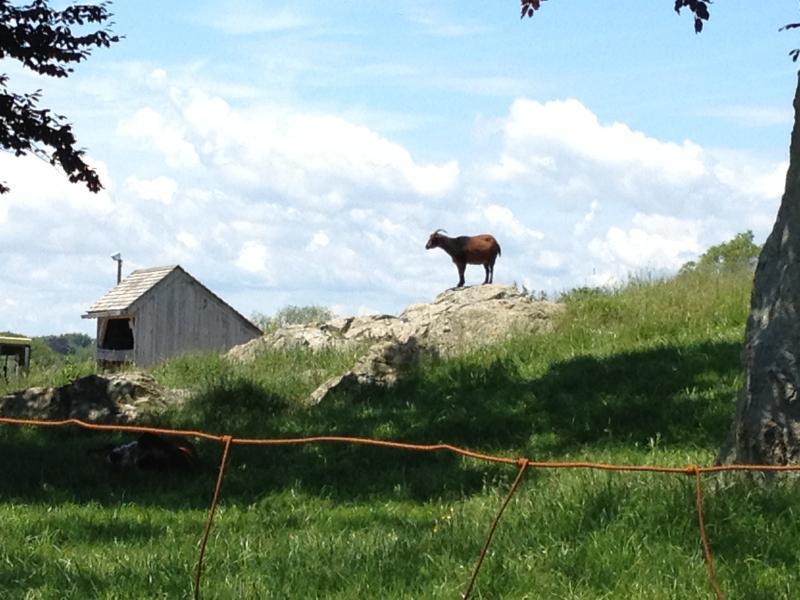 A lone goat.