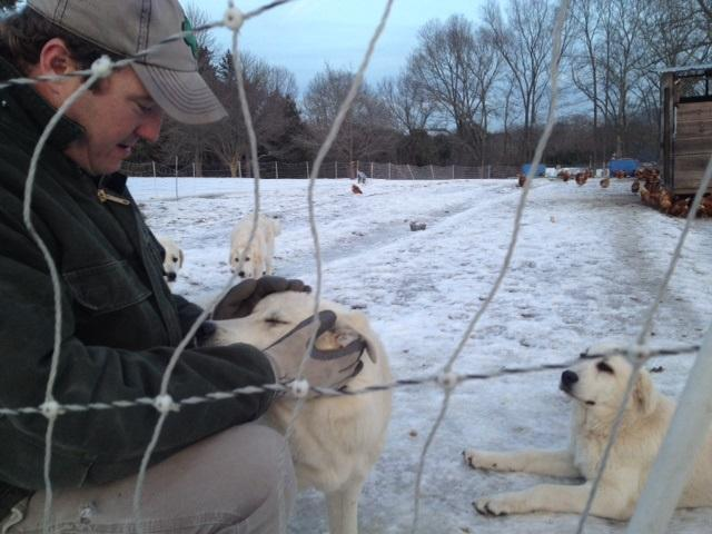 Pat McNiff checks in on his pups guarding chickens on his farm.