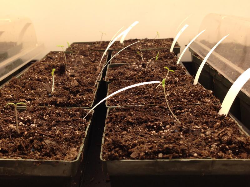 Researchers are currently growing tomato seedlings of different varieties in the growth chambers located at the basement of the Building for Environmental Research and Teaching.