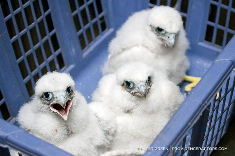 Three baby peregrine falcons born atop Providence's Superman building are now banded for tracking.
