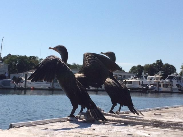 Cormorants sunning themselves on a dock.