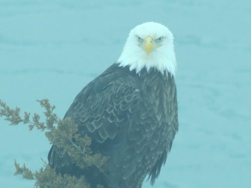 Jane Falvey spotted a bald eage the morning of Feb. 12 in North Kingstown beside Blue Beach in the Quonset office park.