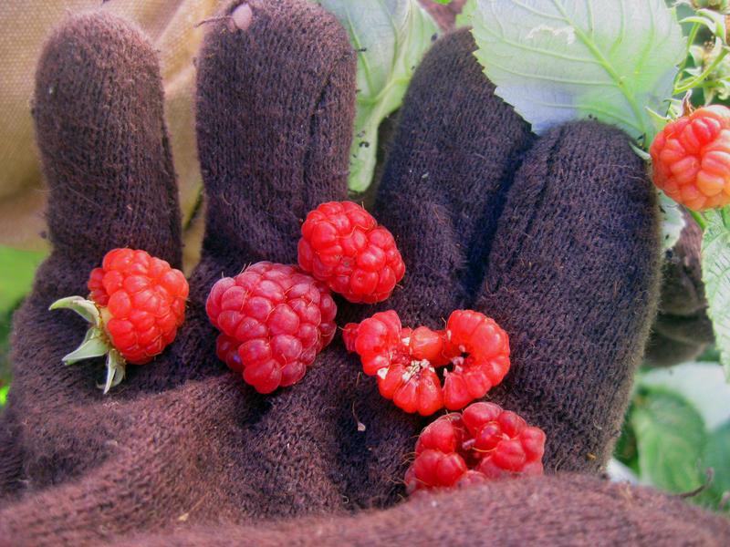 Late season raspberries are a treat in November.