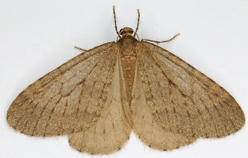 Operophtera brumata, Winter Moth, Trawscoed, North Wales, Oct 2015