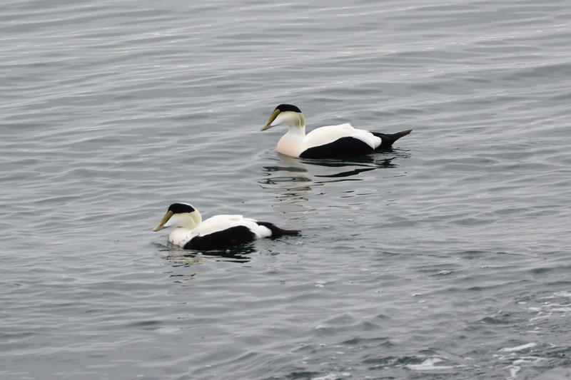 Common Eiders in Sachuest Point National Wildlife Refuge, Middletown, RI.