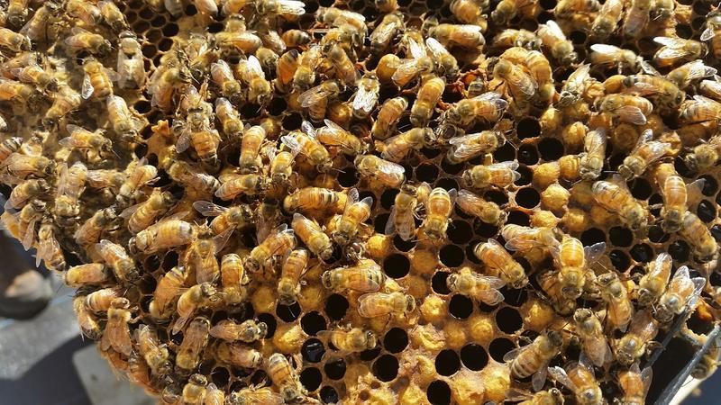 """Scientist Richard Cowles played a few rounds of """"Where's Wanda?"""" as he looked for queen bees on a farm in Hamden. Cowles is working to crossbreed his bees to select for the best survivor traits."""