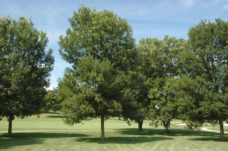 Green ash trees (pictured) are one of the three ash tree species native to the New England region. The green ash, along with the white and black ash, could soon face extinction because of a foreign beetle.