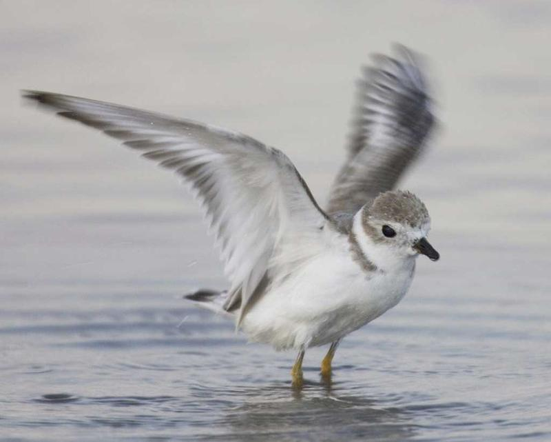 The piping plover is one of the high-priority birds researchers will be monitoring through Block Island Wind Farm's new wildlife tracking station.