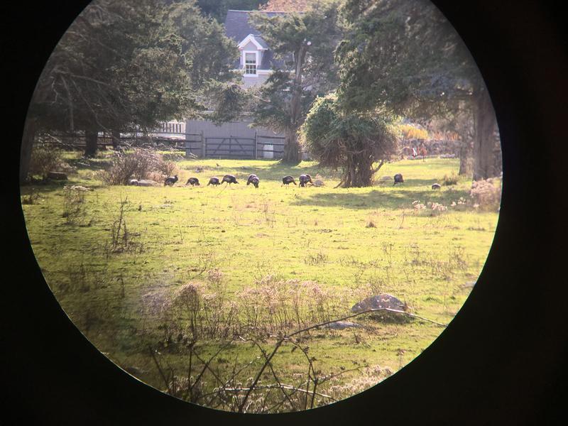 A view of wild turkeys through Beuth's binoculars.