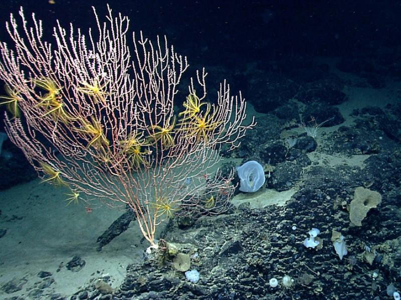 Yellow sea lillies sit on bamboo coral attached to Mytilus Seamount, one of the four underwater mountains that make up the Northeast Canyons and Seamounts Marine National Monument.