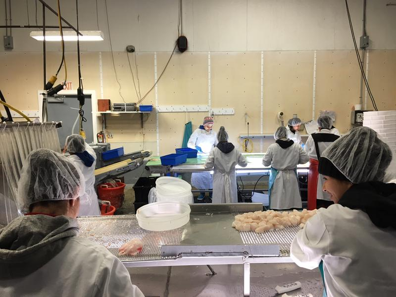 Bergie's Employees Examine Filets for Impurities