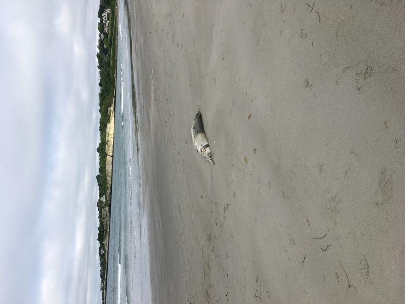 1 of 6 dead seals that washed ashore Second Beach in Middletown