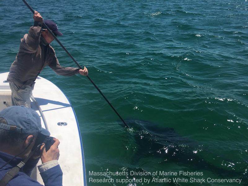 Greg Skomal, Massachusetts Department of Marine Fisheries biologists, tagging the first great white shark of the 2018 season