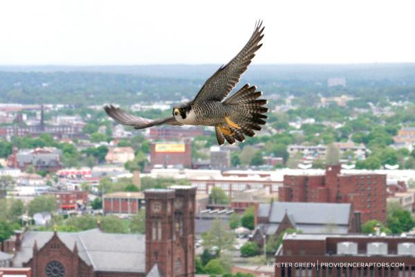 Just one of the many photos Peter Green has taken of wild birds flying above Providence.