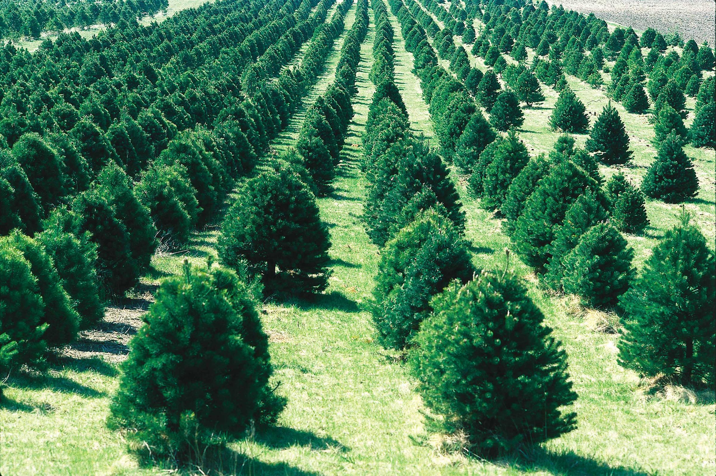 christmas is over time to recycle those trees theyre turned into mulch - Christmas Tree Wiki