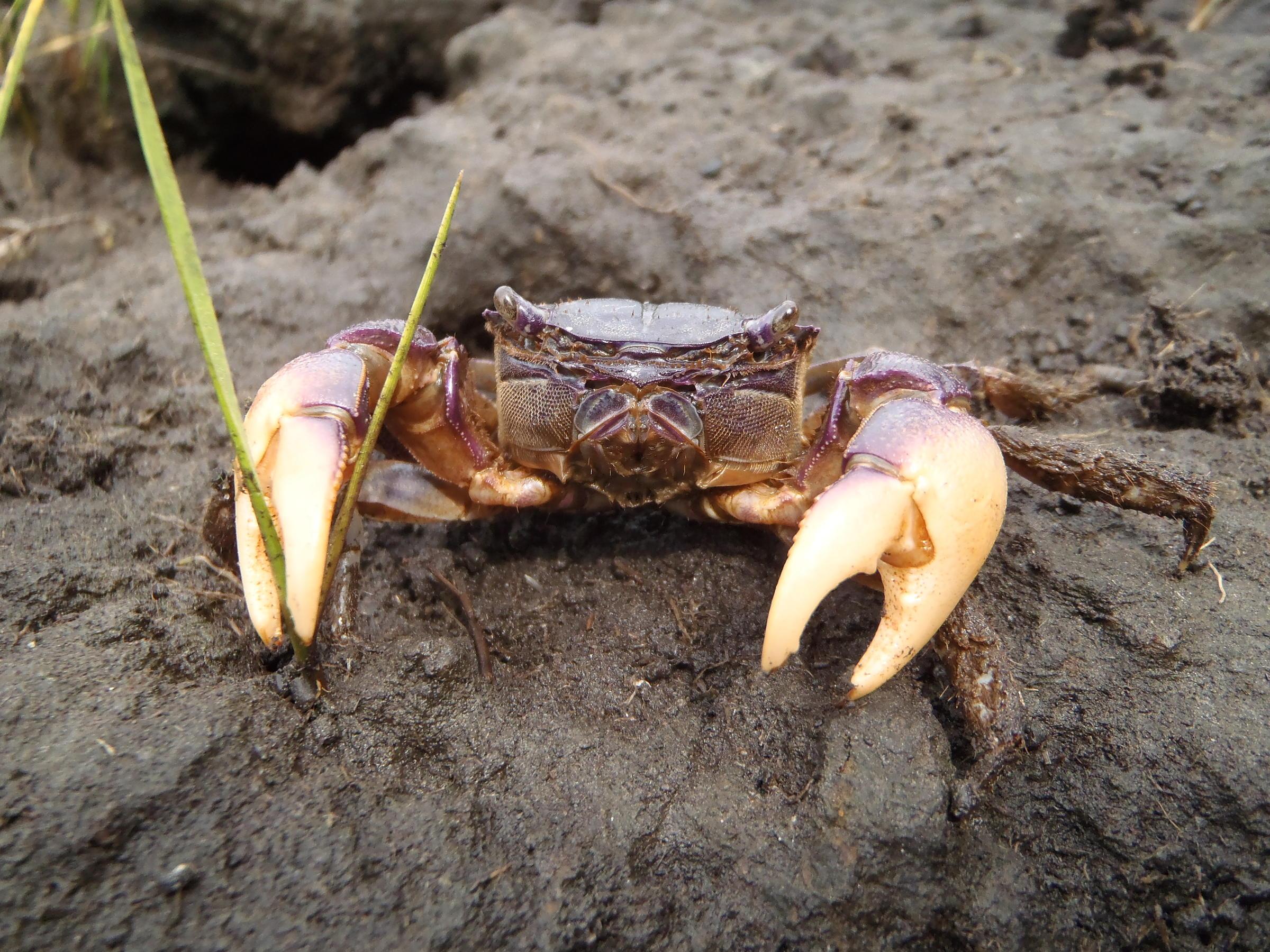 Blue Crabs Rhode Island