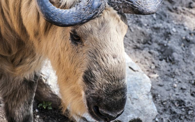 Pound Takin Briefly Escapes At Roger Williams Park Zoo