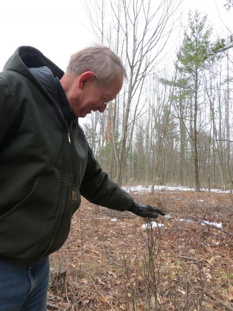 Charles Stackhouse shows where deer have nipped off several saplings.  If a sapling makes it to five feet it's considered to be a sign of healthy regeneration.  However, that rarely happens in areas overpopulated with deer.