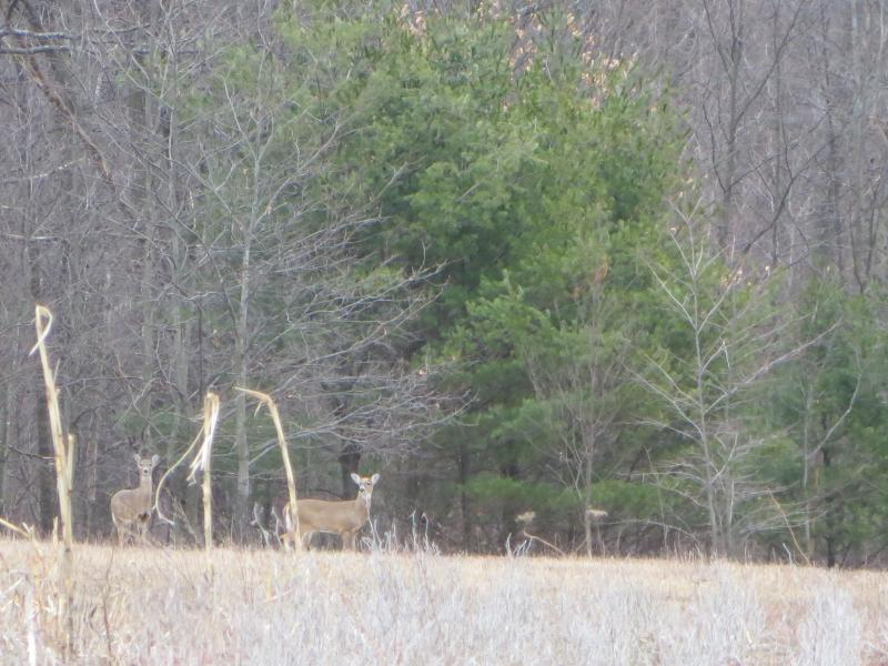 Deer on the Stackhouse property is a very common sight