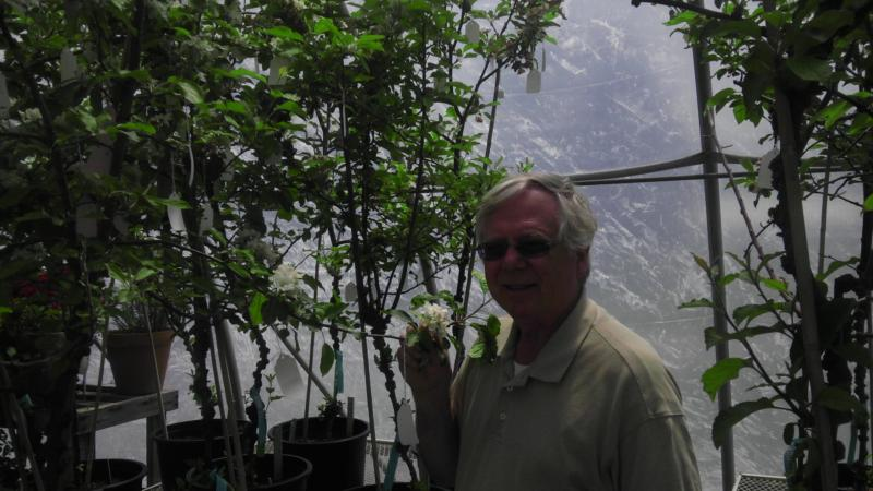 Researcher Herb Aldwinckle stands with a modified apple tree.