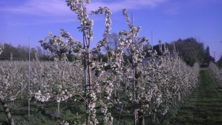 Apple trees in bloom on the Zingler farm