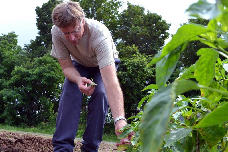 Brian Reeves plucks dead leaves off of pepper plants on his Baldwinsville farm.