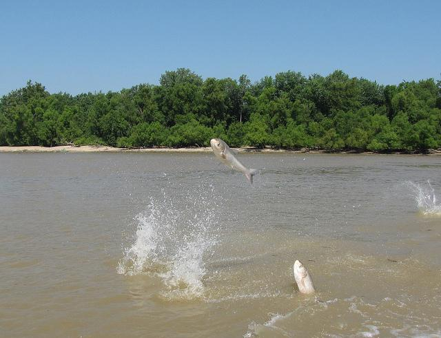 Asian Carp jump out of the water at the mouth of the Wabash River in Kentucky.