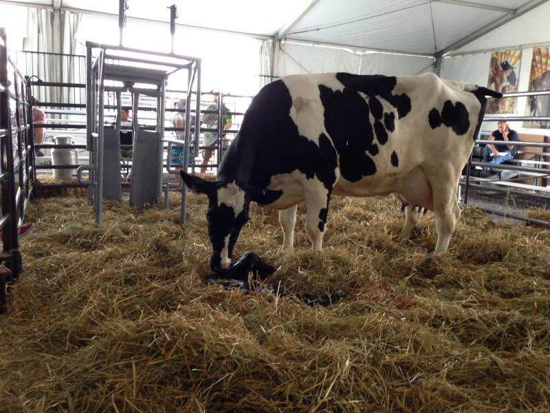 A cow licks her calf after giving birth at the New York State Fair's new Dairy Cow Birthing Center.